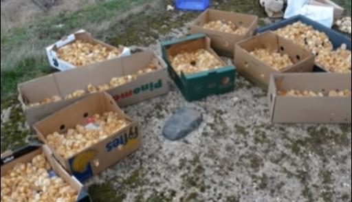 В Великобритании наполе оставили 1 000 живых цыплят